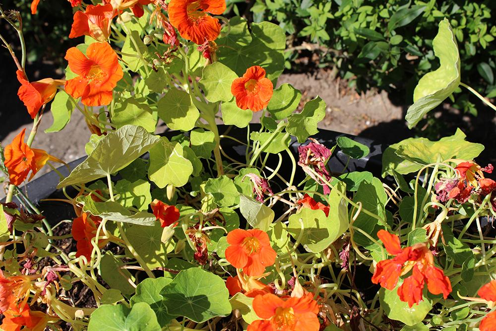 Tallerkensmaekker blomster